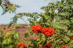 Rowan berries from close Stock Photo