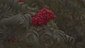 Rowan berries close up. Autumn rowan tree stock video