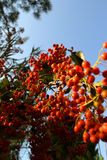 Rowan berries close up on a branch. Blue sky in the background.  Royalty Free Stock Photography