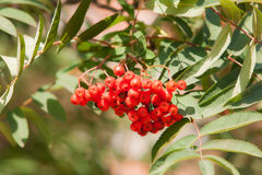 Rowan berries close up Royalty Free Stock Photos