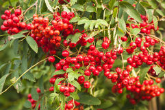 Rowan Berries. A close up image of a Rowan tree, Sorbus aucuparia, full of berries Stock Photo