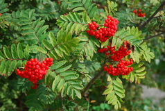 Rowan berries close-up. Spring nature. Royalty Free Stock Images