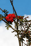 Rowan berries Royalty Free Stock Photos