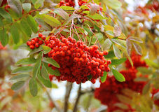 Rowan berries Stock Photos