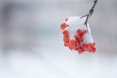 Rowan berries covered with snow. Royalty Free Stock Images