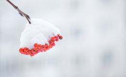 Rowan berries covered with snow. Stock Photos