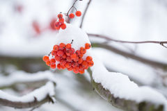 Rowan berries covered with snow. Stock Images