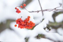 Rowan berries covered with snow. Stock Photography