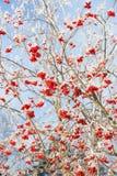 Rowan berries at winter. Rowan berries covered in snow at winter stock photo