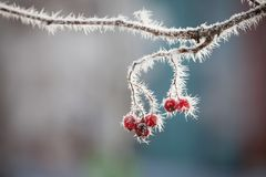 Rowan berries at winter. Rowan berries covered in snow at winter Royalty Free Stock Photo