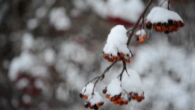 Rowan berries covered in snow at wintertime stock video footage