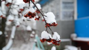 Rowan berries covered in snow at wintertime stock footage