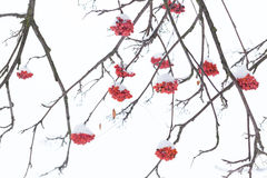 Free Rowan Berries Covered With Snow. Stock Photography - 65497482