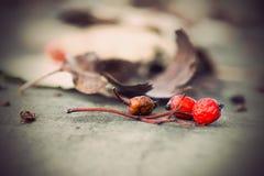 Rowan berries with dry brown leaves Stock Photo