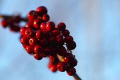 Rowan berries in the fall in natural setting Royalty Free Stock Photo