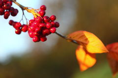Rowan berries in the fall in natural setting Royalty Free Stock Image