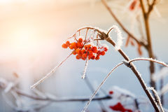 Rowan berries in the frost Stock Photography