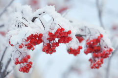 Rowan berries in the frost Royalty Free Stock Photography