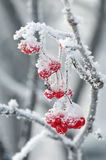Rowan berries in the frost Royalty Free Stock Photos
