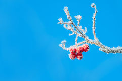 Rowan berries in the frost. Frosted red berries of mountain ash on background of blue sky Royalty Free Stock Photo