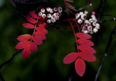 Rowan berries.FZ200 Stock Photography
