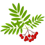 Rowan berries Royalty Free Stock Image