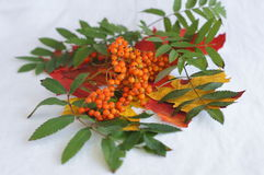 Rowan berries with green leaves Stock Photography