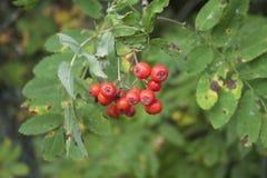 Rowan berries. Hanging on a mountain ash Stock Photos