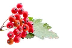 Rowan berries isolated on white Royalty Free Stock Photo