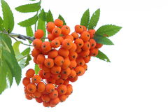 Rowan berries isolated on white Stock Image