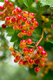 Rowan berries. Stock Photo