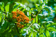 Rowan berries. Stock Image