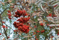 Rowan berries in the late autumn Royalty Free Stock Image