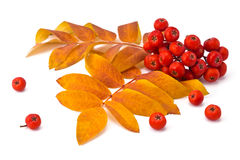Rowan berries and leaves Royalty Free Stock Photography