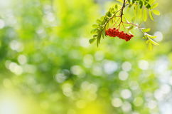 Rowan berries with leaves on blurred background. Summer day Royalty Free Stock Images