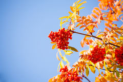 Rowan berries and leaves over blue sky Stock Image