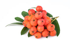 Rowan berries with leaves on white background. Closeup Royalty Free Stock Photography