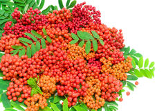 Rowan berries and leaves on a white background. horizontal photo Stock Photos