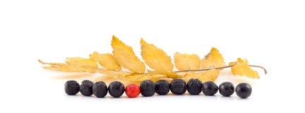 Rowan berries lie in a row on a white background. Rowan berries lie in a row Royalty Free Stock Photography