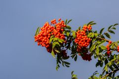 Rowan. The berries of mountain ash, a mountain ash, in particula. R the European Sorbus ausupariya Stock Photo