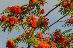 Rowan. The berries of mountain ash, a mountain ash, in particula. R the European Sorbus ausupariya Royalty Free Stock Photos