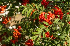 Rowan. The berries of mountain ash, a mountain ash, in particula. R the European Sorbus ausupariya Stock Image