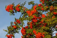 Rowan. The berries of mountain ash, a mountain ash, in particula. R the European Sorbus ausupariya Royalty Free Stock Photography