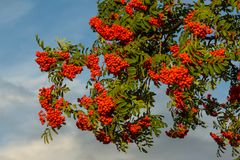 Rowan. The berries of mountain ash, a mountain ash, in particula. R the European Sorbus ausupariya Stock Photography