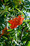 Rowan berries on a mountain ash or rowan tree, Sorbus aucuparia. Rowan berries on a mountain ash or rowan tree in summer with green leaves Stock Photo