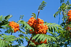 Rowan berries on a mountain ash or rowan tree, Sorbus aucuparia. Rowan berries on a mountain ash or rowan tree in summer with green leaves Stock Images