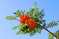 Rowan berries on a mountain ash or rowan tree. Rowan berries on a mountain ash or rowan tree in summer with green leaves Stock Image