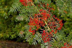 Rowan berries, Mountain ash Sorbus roadside tree. With ripe berry Royalty Free Stock Photos