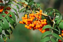 Rowan berries, Mountain ash Sorbus stock image