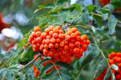 Rowan berries, Mountain ash Sorbus royalty free stock photography